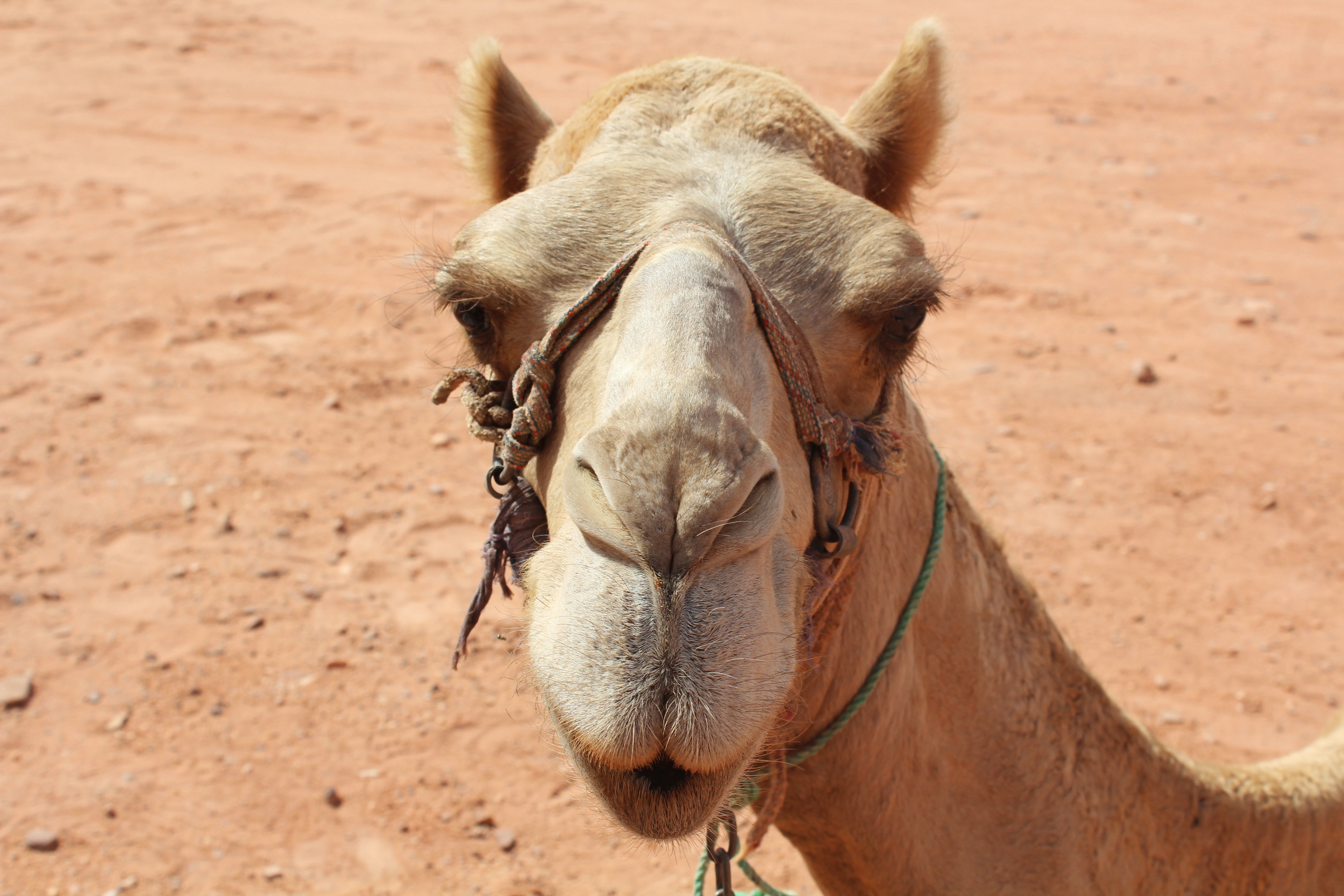 Camel_Wadi_Rum